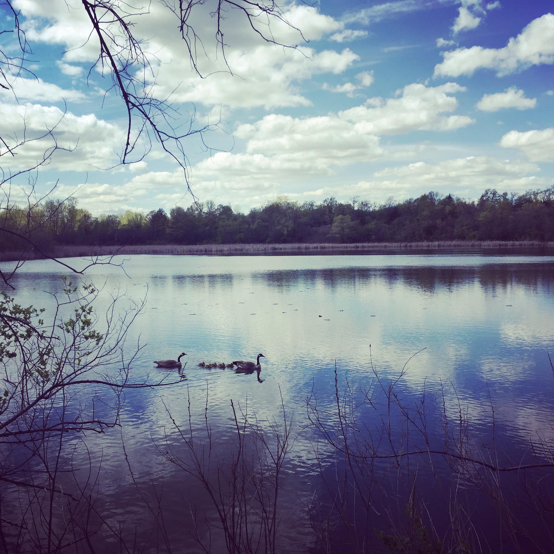 Lake Marion Geese